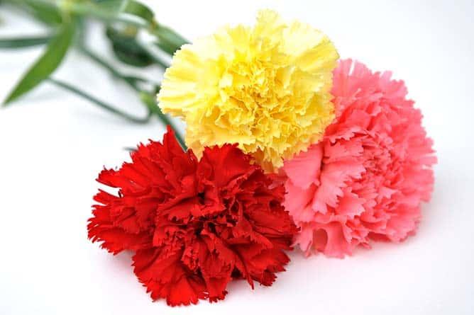 significado de la flor clavel