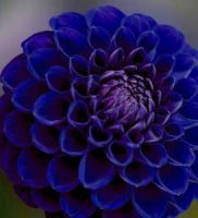 16 dalia azul