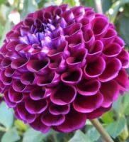 32 dalia violeta