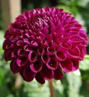 33 dalia violeta