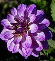 35 dalia violeta