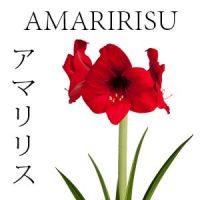 FLORES JAPONESAS 7 AMARIRISU