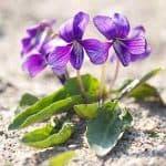 Viola mandshurica