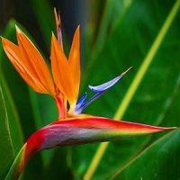 ave del paraiso flor hawaiana