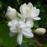 flor de jazmin en hawai