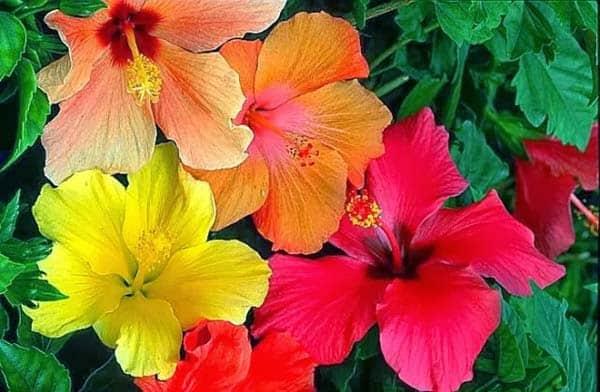 Significado De La Flor Hawaiana