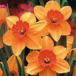 narcisos naranja