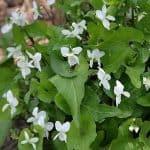 viola lactiflora nakai