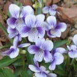 viola yedoensis