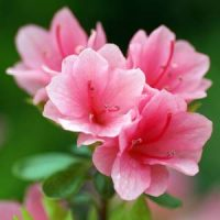 1 azalea rosa