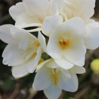 1 fresias blancas