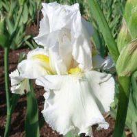 1 iris blanca