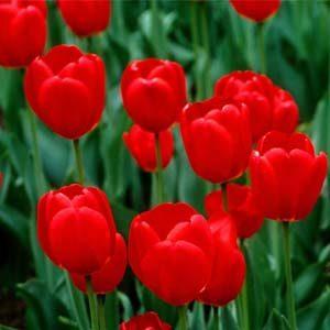 1 tulipan rojo