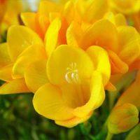 2 fresias amarillas