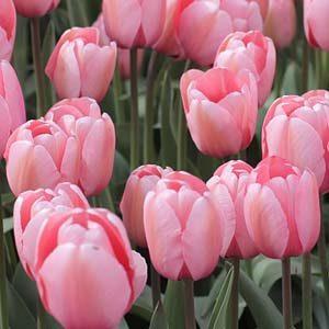 2 tulipan rosa