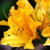3 azalea amarilla