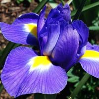 3 iris azul