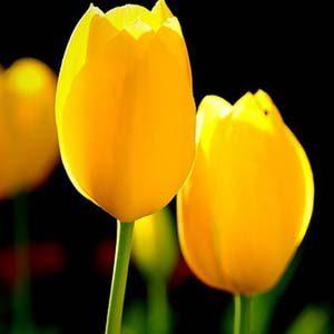 3 tulipan amarillo