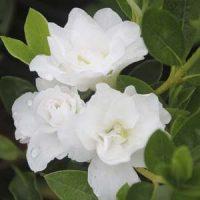 4 azalea blanca