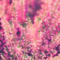 4 brezos rosa
