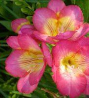 4 fresias rosas