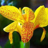 4 iris amarilla
