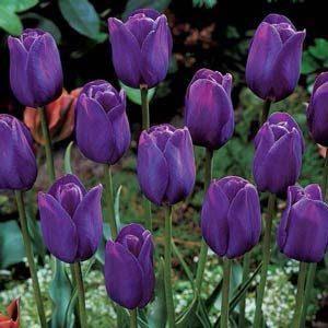 4 tulipan morado
