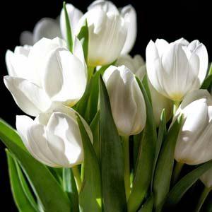 5 tulipan blanco