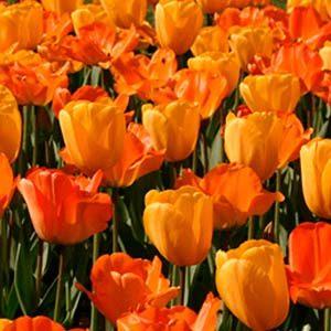 6 tulipan naranja