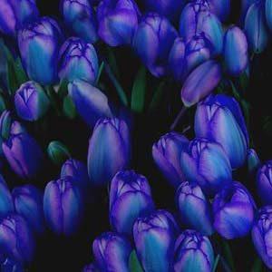 7 tulipan azul