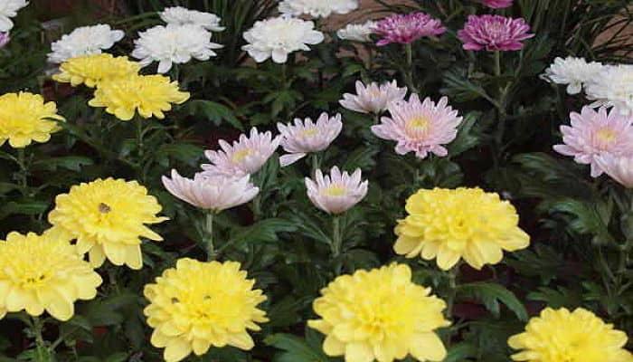Resultado de imagen para crisantemo