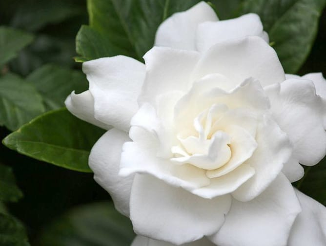 Flor de gardenia blanca