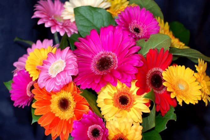 Flor de gerbera de colores