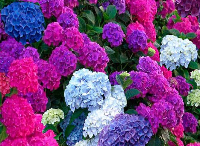 Flor de hortensia de colores
