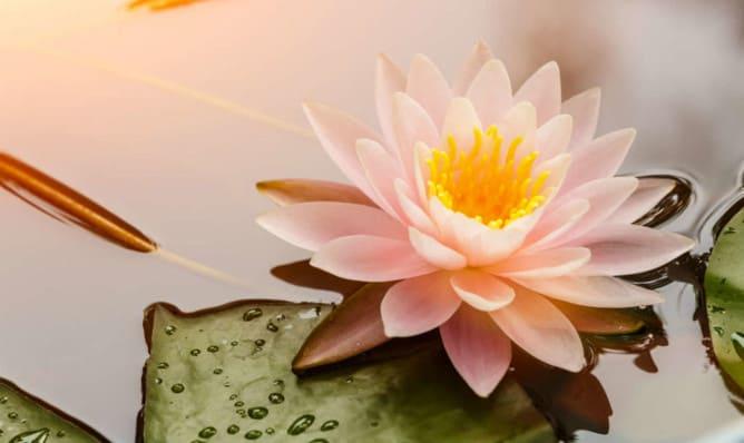 Flor sagrada de loto
