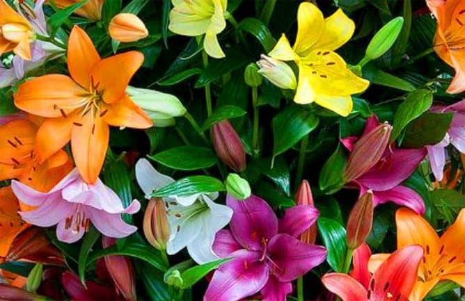 Flores de lili de colores
