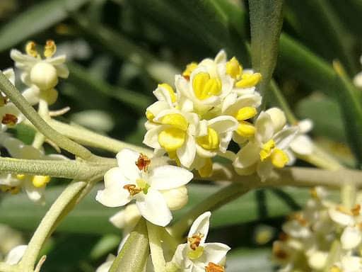flor de olivo